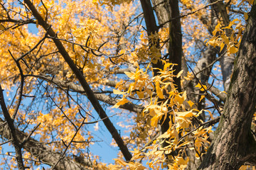 yellow leaves on branch tree in autumn