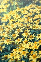 Yellow daisy flowers,vintage color filtered.