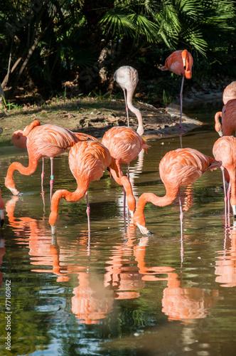 Foto op Aluminium Flamingo Fenicottero