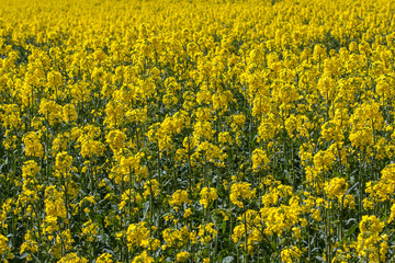 Abstract shot of yellow rapeseed which fills the frame.