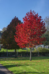 Autumnal red tree in a town park in Godalming, Surrey.