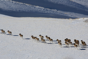Argali Marco Polo. A flock of sheep in the mountains, in winter