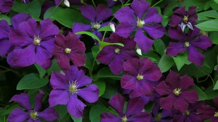 Some blooming Purple Clematis flowers are blowing in the Wind