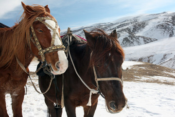 Horses in the snowy mountains. The heads of the horses