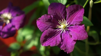 Close up of a blooming Purple Clematis flower in little breeze