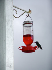 colibri bird jamaica small