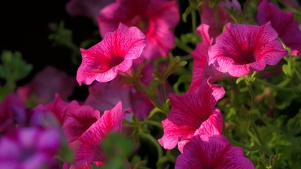 Close up of some pink hanging petunia flowers are moving in wind