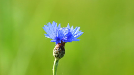 Blue cornflower and singing nightingale