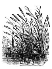 Victorian engraving of a bulrush plant