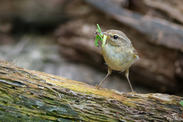 Chiffchaff with insect prey