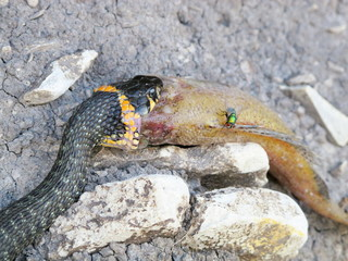 European grass snake (Natrix natrix) feeding on a dead fish