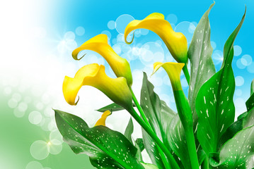 calla lily flower close up