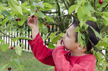 Child picking and eating cherries