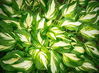 Hosta variegata