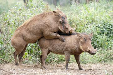 Kenya, Nairobi Africa warthogs mating.