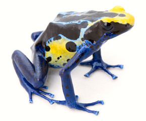 blue yellow poison frog