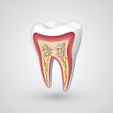 Fototapety Vector tooth sectional