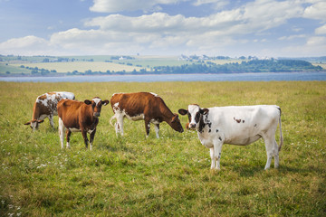 Cows in farm field