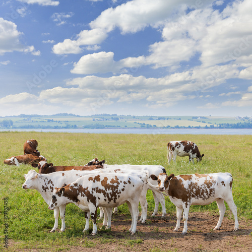 Poster Koe Cows in pasture