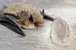animal  bat Nathusius pipistrelle (Pipistrellus nathusii)