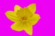 canvas print picture - gelbe Narzisse auf pink