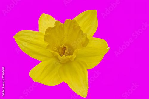 canvas print picture gelbe Narzisse auf pink