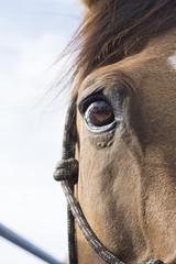 Eye of Brown horse