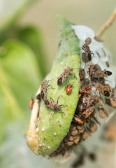 insect attacking Aphids on the endangered plant