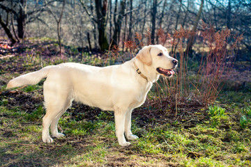 golden retriever on the walk
