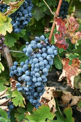 Black grape for red wine