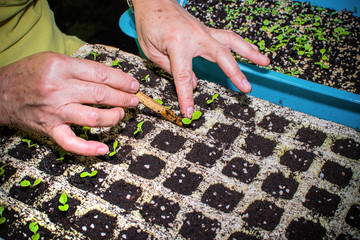 Cultivating Plant, Hands transplanting young plant