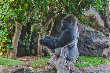Gorilla in Loro-Parque. Tenerife. Spain.