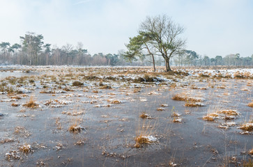 Clumps of Great bulrush plants in the ice