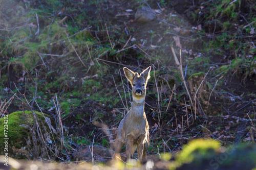 Fotobehang Ree Roe Deer Buck in backlight