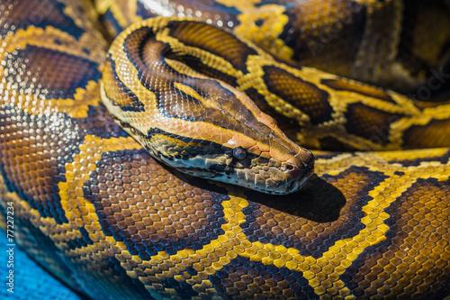 Royal Python - 77227234