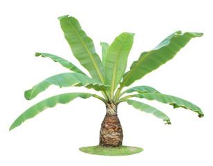 Banana tree isolated on white background