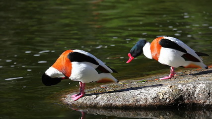 A pair of Common Shelducks, Tadorna tadorna