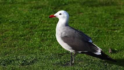 A Heermann's Gull loafs on the gras