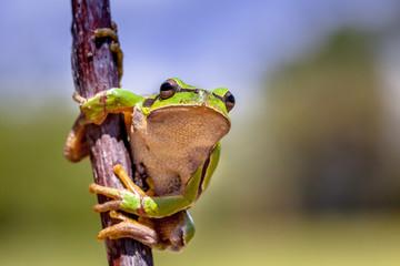 Climbing European tree frog