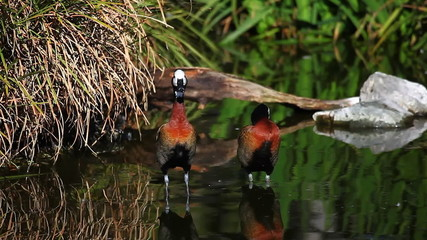 A pair of White-Faced Whistling Ducks in a marsh
