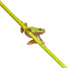 Green European Tree frog on  a long diagonal stick