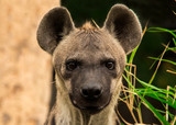 The spotted hyena. Crocuta crocuta