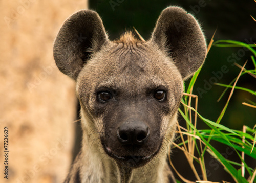 Poster Hyena The spotted hyena. Crocuta crocuta