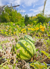 Ripe watermelon in organic farm