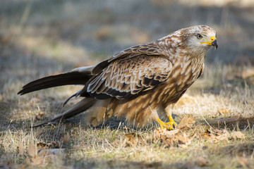 Kite ( Milvus Milvus ) feeding on the ground