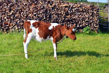 little calf standing in green pasture