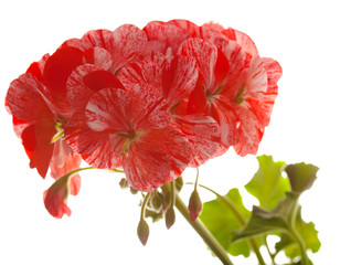 variegated pink and red geranium