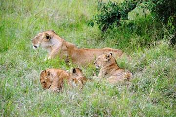 Löwin mit Jungtieren  - Masai Mara - Kenia