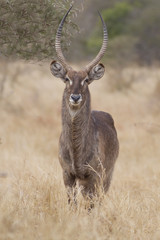 Male of Waterbuck (Kobus ellipsiprymnus)