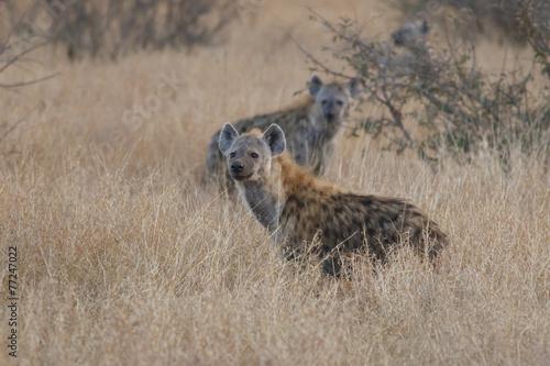 Plexiglas Hyena Spotted hyena (Crocuta crocuta)